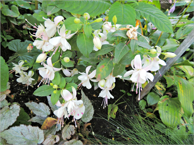 Fucsias Blancas en el Jardín Botánico de Montreal