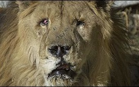 El último león de Afganistán, Marjan. Un símbolo de sufrimiento de Kabul, el león Marjan. El León más famoso del mundo.
