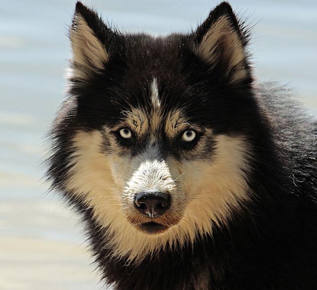 كلب هاسكي أصلي