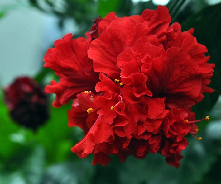 S T I L E T To Red Hot Double Petaled Hibiscus