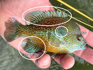 Sunfish Identification, How to tell sunfish apart, sunfish, texas sunfish, panfish identification, bream identification, perch identification, what did I catch, fly fishing, texas fly fishing