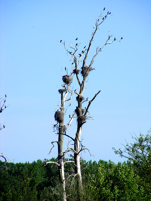 White Stork Ciconia ciconia nest tree, Brouage marshes, Charente-Maritime. France. Photo by Loire Valley Time Travel.
