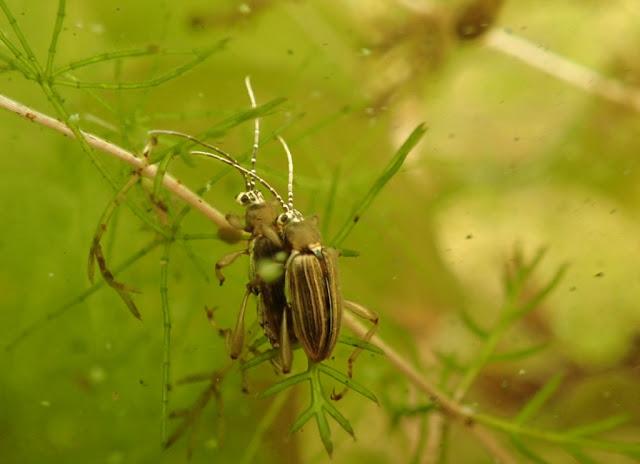 Kaksi kovakuoriaista päällekkäin vesikasvin päällä veden alla