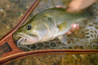 Matt Bennett, Lower Colorado River, Largemouth Bass, Northern Strain Largemouth Bass, Florida Strain Largemouth Bass, Largemouth Bass in Texas, Bass on the Fly, Fly Fishing for Bass, Texas Bass Fishing, Texas Fly Fishing, Fly Fishing Texas, Texas Freshwater Fly Fishing, Fish Spotlight
