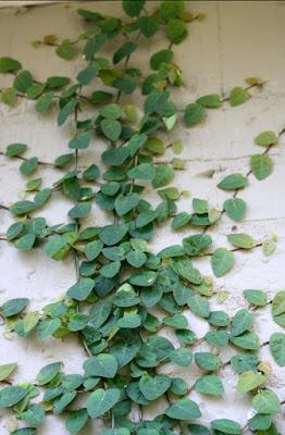 Jual pohon dolar rambat | Tukang Rumput Bogor