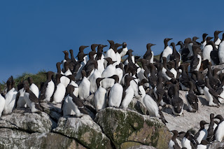 Common Murresm nesting in Witless Bay, Newfoundland