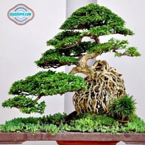 Kimeng termasuk jenis bonsai beringin