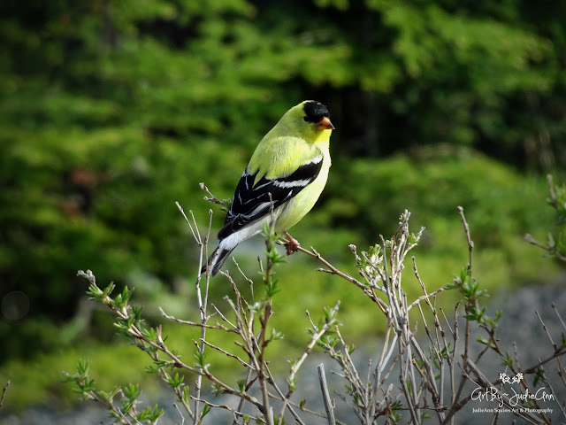 Yellow Goldfinch 2 Photos