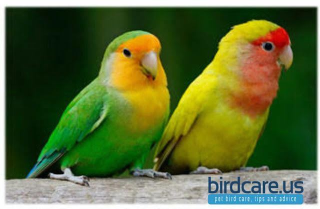 Lovebird and Budgies share a cage?