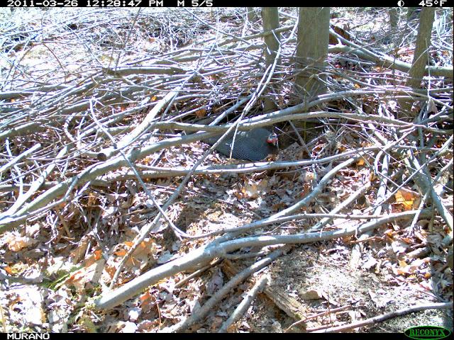 guinea hen nest