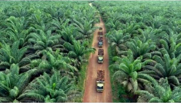 Target Pemerintah Replanting 180.000 Hektar Sawit Tidak Tercapai