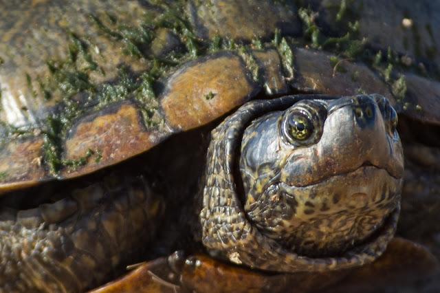 Mud Turtle, Hagerman National Wildlife Refuge