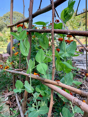 Peas growing on a homemade trellis