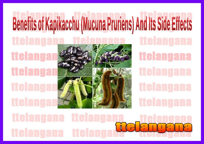 Benefits of Kapikacchu (Mucuna Pruriens) And Its Side Effects