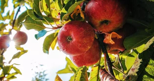 شجر التفاح