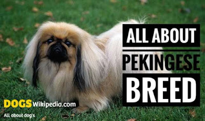 All about pekingese dog puppy, lion dog profile, pekingese profile