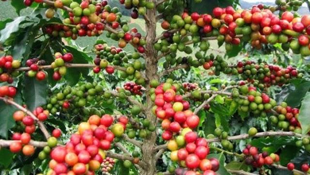 Giá cà phê hôm nay 13/6: Giảm mạnh 400 - 600 đồng/kg trong tuần qua