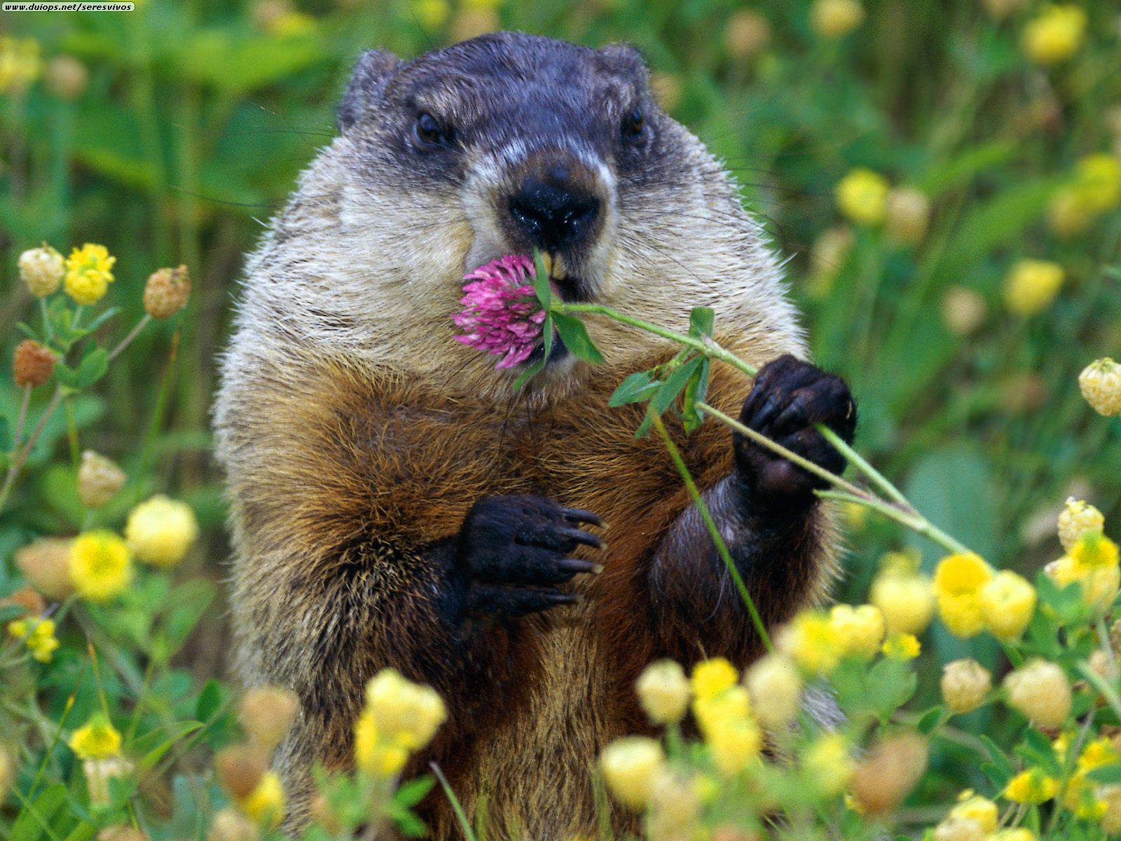 Groundhogs Animals   Latest Facts & Pictures   All ...