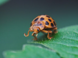 Close-up of an Asian Lady Beetle walking.