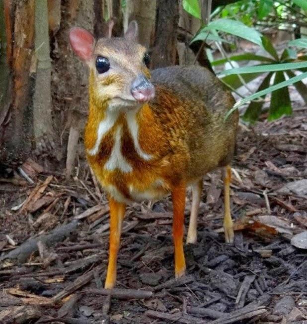 شاهد حيوان غريب يشبه الغزال والفأر عشاق ناشيونال جيوغرافيك