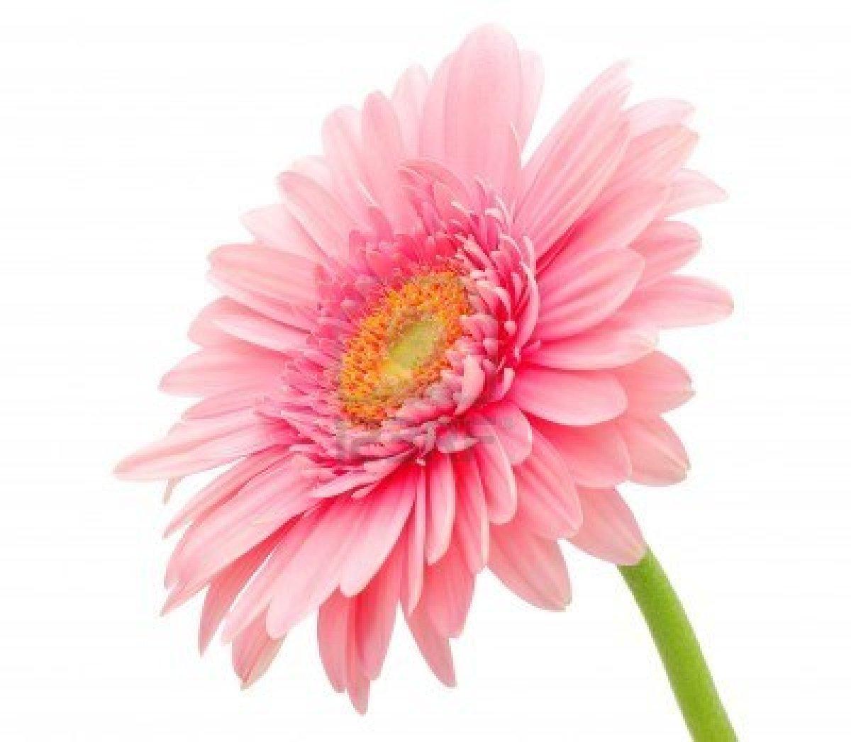 Gerbera and daisy flower wallpaper zone wallpaper - Gerber daisy wallpaper ...