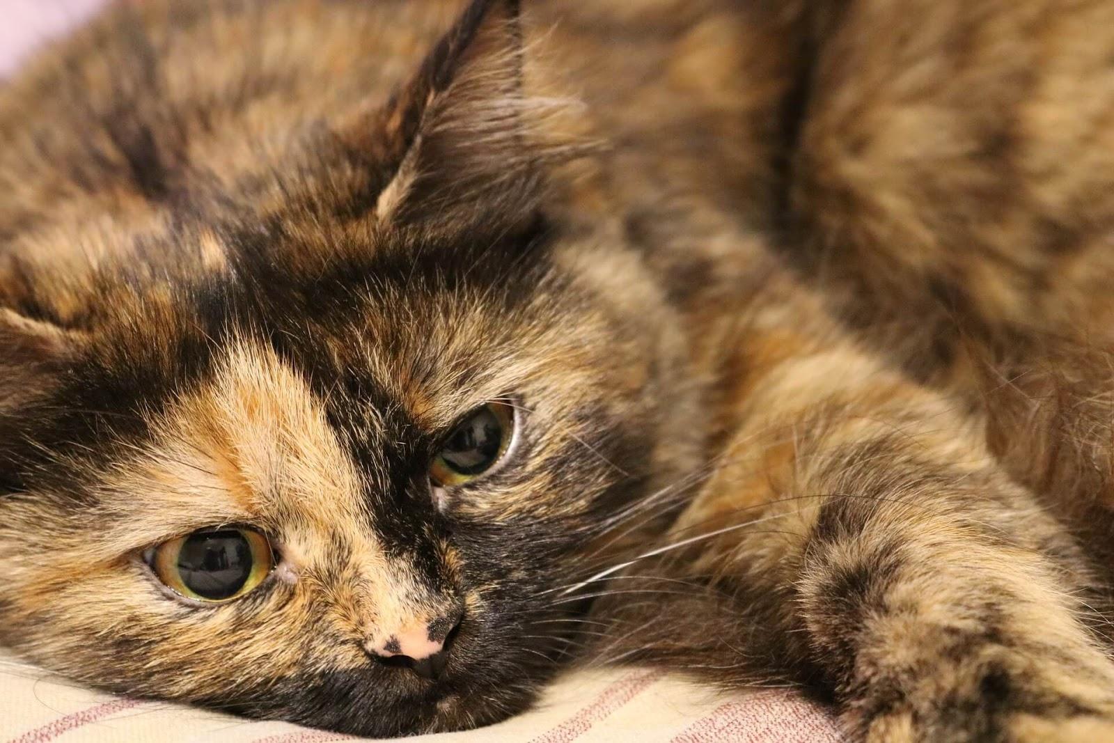 Cristales de gato macho en síntomas de orina