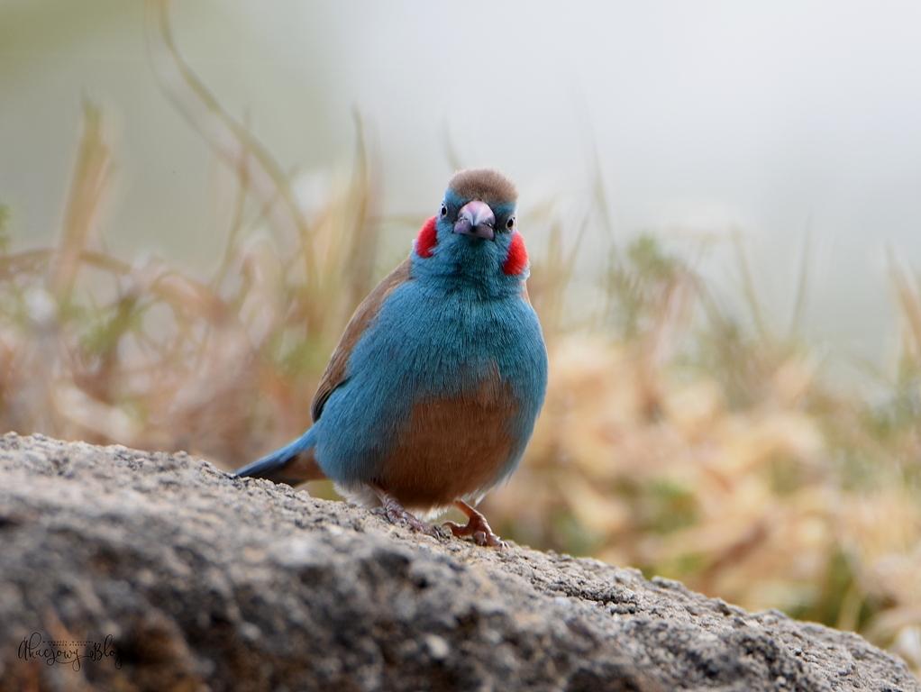 Ptaki Etiopii - w wiosce Adadi.