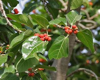 ficusbenghalensis-बरगद-के-फल-खाने-के-लाभ