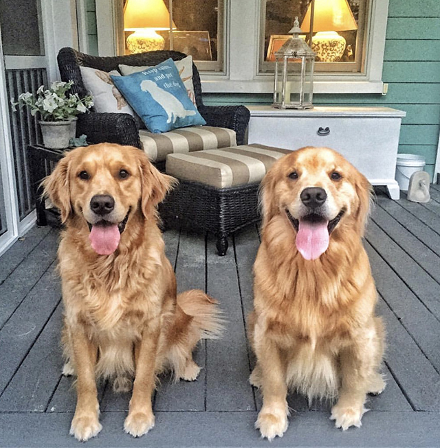 Golden Retrievers Porch