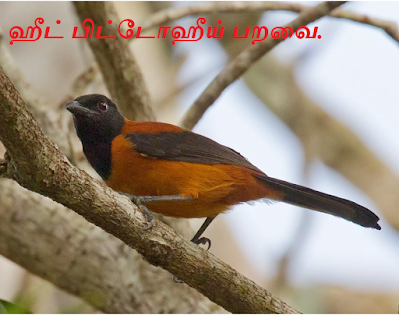 Hooded pitohui _ New Guinea