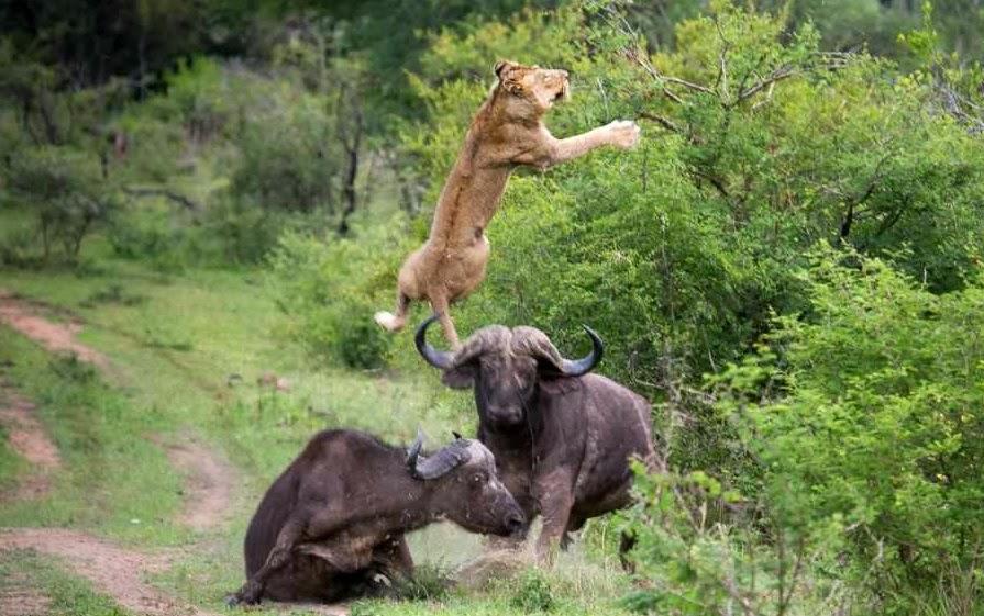 Descubre TU MUNDO: En imágenes y VIDEO: león sale volando tras el ...