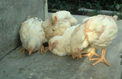 Organic treatment of newcastle disease ND in poultry