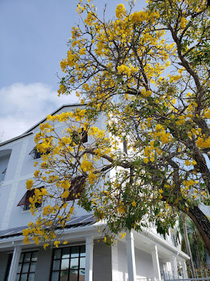 Yellow Trumpet Tree in front of building
