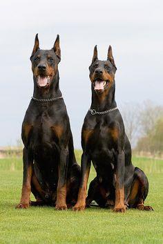 Existem duas variedades de Dobermann: o Dobermann europeu, e o Dobermann americano. O Dobermann de linhagem européia, é um cão mais robusto, sólido, forte e mais voltado para o trabalho(guarda). Já o Dobermann de linhagem americana, é mais leve, elegante, e mais voltado para exposições caninas. A imensa maioria dos exemplares brasileiro, é composto por Dobermanns de linhagem americana.