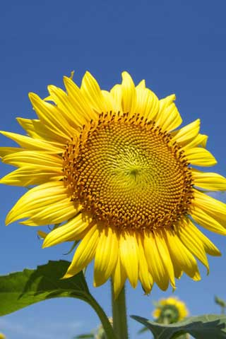 iPhoneZone: 20+ Awesome Sunflower Wallpapers For iPhone