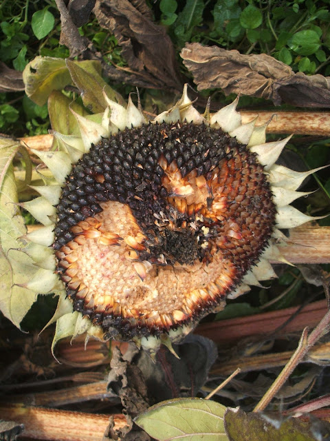 decaying sunflower head on our allotment plot