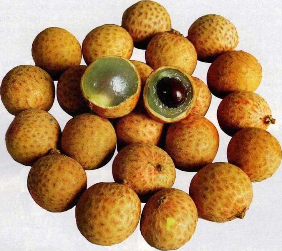 biji benih buah kelengkeng matakucing 5 seed Kepulauan Riau