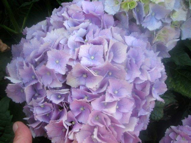 Hydrangea Hortensja Hydrangea Macrophylla Hortensja Ogrodowa