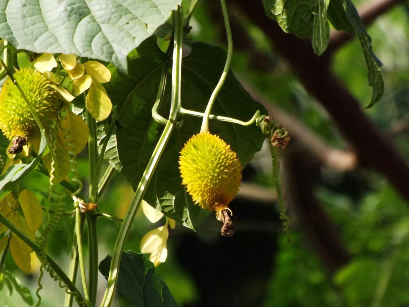 Kakrol Spiny Gourd Momordica Dioica
