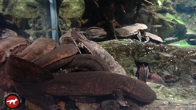 salamandre géante à l'aquarium de Kyoto
