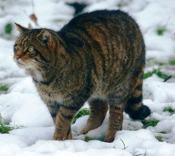 A Scottish wildcat walking on snow