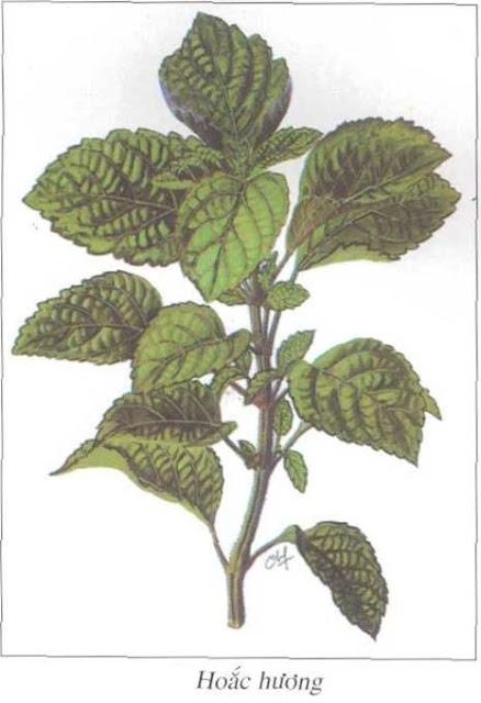 Hoắc Hương - Pogostemon cablin - Nguyên liệu làm thuốc Chữa Bệnh Tiêu Hóa