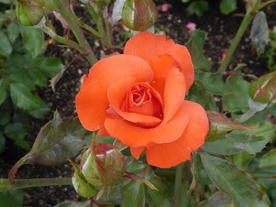 オレンジ シルク 北アイルランド マグレディ
