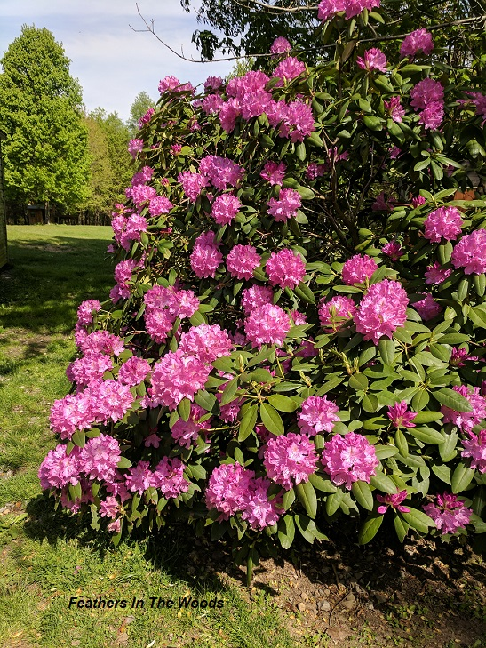 Caring For And Pruning Rhododendrons Feathers In The Woods