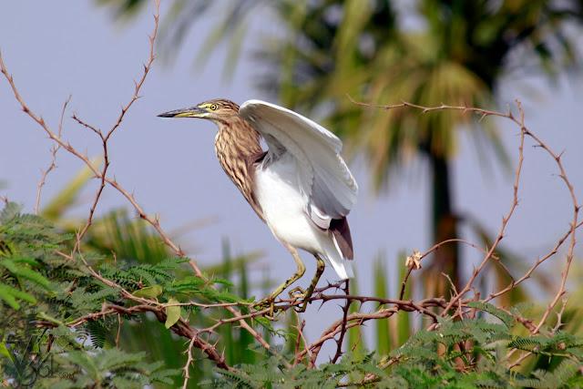 Pond Heron preparing to take flight