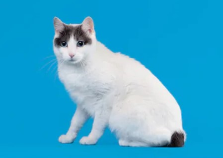 Japanese Bobtail cat - all you want to know about Japanese Bobtail cats
