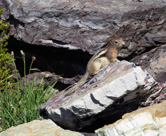 Golden mantled ground squirrel along the Sperry Lake trail near Sperry Glacier
