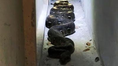 Gambar ular piton besar sembuyi