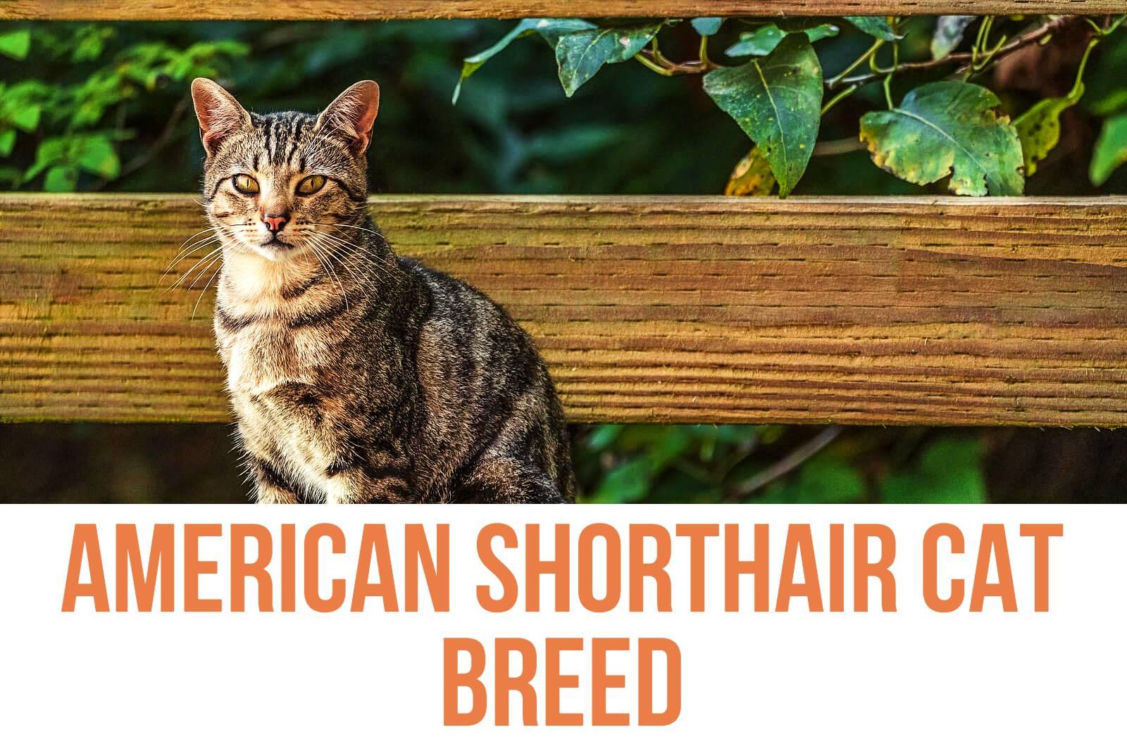 American Shorthair Cat Breed