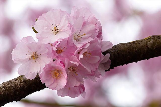 Flor de Prunus serrulata